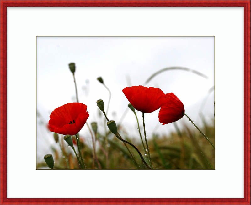 tumblr_static_free-red-poppies-in-the-rain-wallpaper_1600x1200_88038